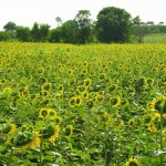 One of many sunflower patches along the Khao Yai farm and wine trail.
